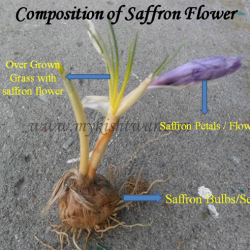 Classification of Saffron